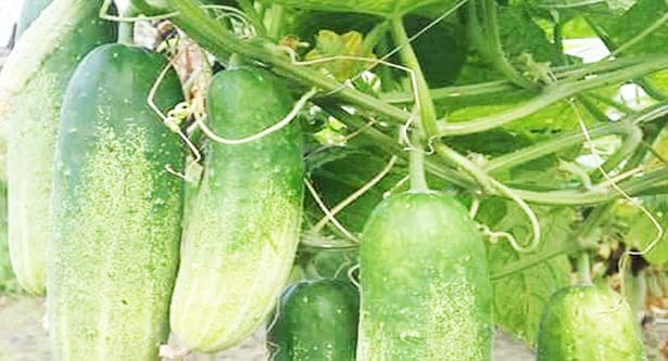 Bumper cucumber yield makes farmers happy