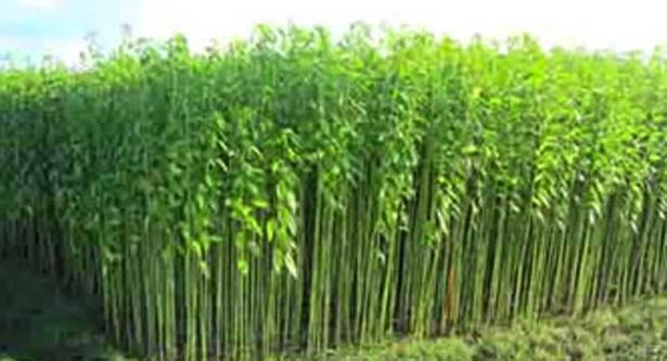 Cultivation of potential jute in Nilphamari