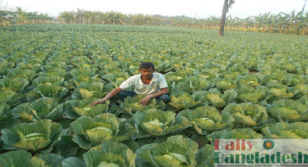 Akamat gains success in cabbage cultivation