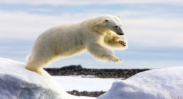 Polar bears can`t catch enough seals to stay fed: study
