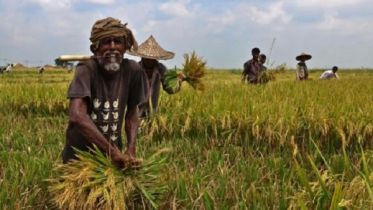 Harvest of Boro paddy continues in Gaibandha