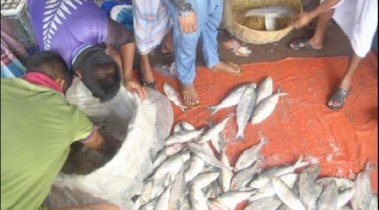 Hilsa scarcity leads to paucity
