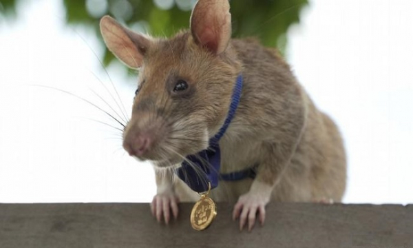HeroRAT Magawa wearing gold medal; photo: PSDA/Reuters
