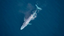 Blue whale spotted off Sydney coast for 3rd time in over 100 yrs