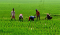 Aman cultivation exceeds target in Narsingdi