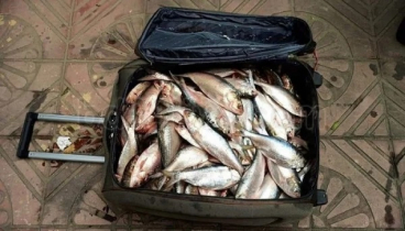 50kg mother hilsa recovered from travel luggage, one arrested