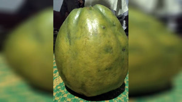 The papaya that was sold for Tk Tk 1.69 lakh in Habiganj; Photo: Collected