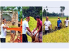 BCL men assist in harvesting Boro paddy in Rangpur