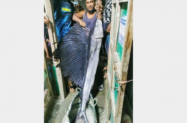 The seven-foot-long, 22kg sea fish called 'bird fish' caught in Meghna River for the first time