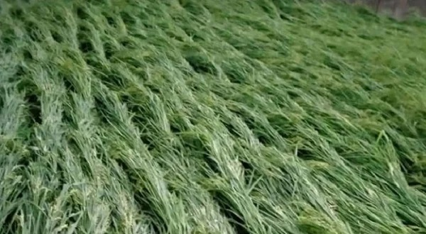 Hailstorm damages 92 hectares of crops in Mithapukur-Pirganj
