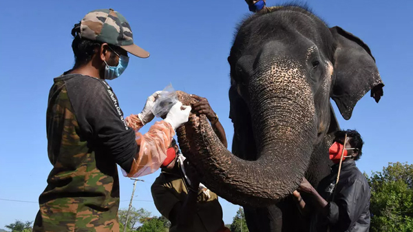 Elephants at a reserve in southern India have been tested for Covid-19 after a lion died of the virus; Photo: AFP