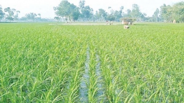 Boro cultivation exceeds target in Manikganj