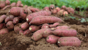 43,779 tonnes of sweet potato produced in Rajshahi