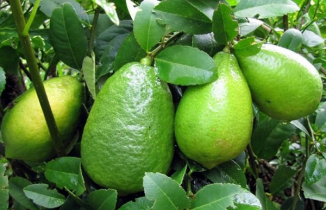 Lemon cultivation becomes boon for Manikganj farmer