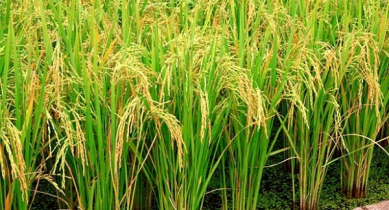 Aush rice production target likely to exceed in Rangpur region