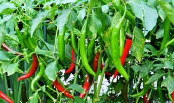 20,000 tonnes summer chili yield likely in Rajshahi division