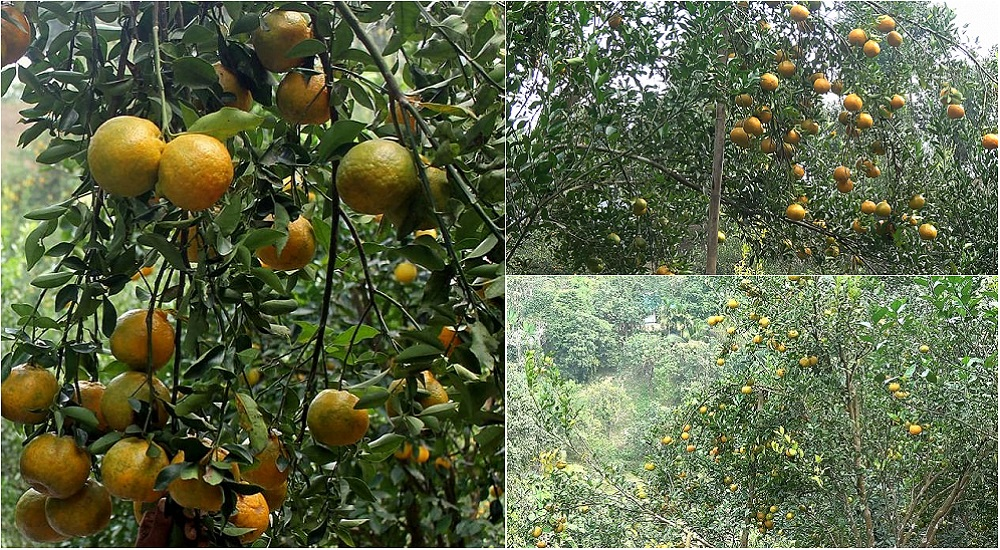 The Department of Agricultural Extension has set a target of producing 9,800 tonnes of oranges in Rangamati this year.