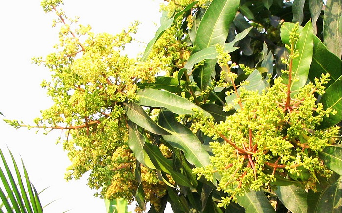 Mango-sprouts advance in nature